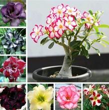 Vasos de flores plantadores Adenium deserto do arco-íris sementes obesum rosa sementes de bonsai planta sementes para casa e jardim de 200 sementes / saco(China (Mainland))