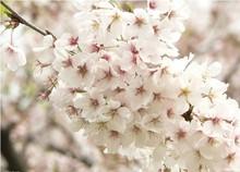 cherry blossom tree promotion