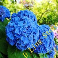 Free shipping 100 pieces Flower seeds purple Hydrangea evergreen woody flowering long Hydrangea