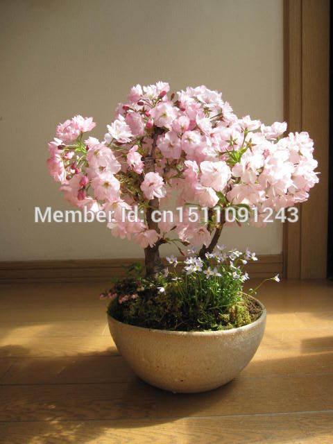 Free shipping, mini bonsai Japanese cherry blossom seeds a pack of 20 plants, bonsai tree(China (Mainland))