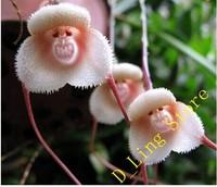 Flower pots planters Beautiful Monkey face orchids seeds Multiple varieties Bonsai plants Seeds for home & garden 10 seeds