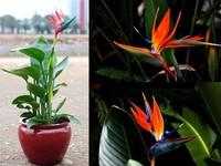 Flower pots planters All sorts of color Strelitzia reginae seeds hybrid bird paradise seed Bonsai plants Seeds for home & garden