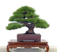 Millennium Plants ,50 Piece Five-Leaved Pine Tree Seeds Potted Landscape Japanese Five Needle Pine Bonsai Miniascape Seeds