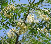 DIY Home Garden Plant 20pcs/lot DRUMSTICK TREE Miracle Ben Oil Moringa Oleifera Seeds Free Shipping
