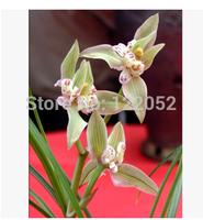 Aster Orchid Garden, orchids, cymbidium, Gold Coast, Snow White, 100pcs