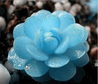 New 2014 High germination rate 10pcs (blue lotus) Succulent Plant home garden beautiful desk bonsai free shipping