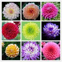 90 seeds/bag Flower pots planters Many color of dahlia seeds rainbow pompon Seeds Bonsai plants Seeds for home & garden