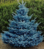 New Arrival  Home Garden Plant 30 Seeds Evergreen Colorado Blue Spruce Picea Pungens Glauca Tree Seeds Free Shipping
