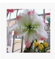 Amaryllis bulbs, flower bulbs, flowers, potted flowering year,2-4 cm in diameter, 2pcs