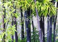 200PCS Black Bamboo Seeds Phyllostachys Nigra