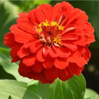 buy 3 get 150 Seed / Pack Flower Seeds zinnia elegans For Garden Balcony Flower seeds 50 seeds Red chrysanthemum zinniaelegans