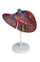 Liver Section with Gall Bladder model