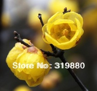 35pcs/bag hot selling Yellow Plum seeds Flower Seeds for DIY home garden Free shipping