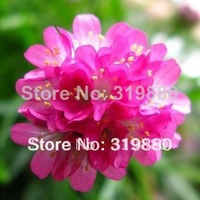 Free shipping Sea pink seeds flower seeds