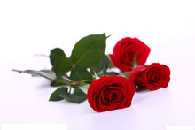 cheap red rose seed