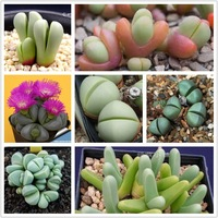 Kinds of  lithops seeds ARGYRODERMA mix together total 50pcs/pack bonsai Plants seeds + Free shipping