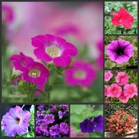 200 SEEDS - 100% Genuine Mixed Petunia Seeds Bonsai Flower Plant Seeds * Free Shipping (P20063)