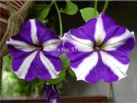 200 SEEDS - 100% Genuine Fresh Petunia Seeds - Bonsai Flower Plant Seeds * Free Shipping (P20062)