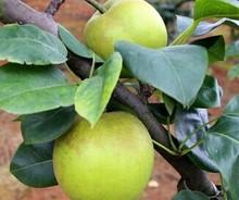 popular green pear