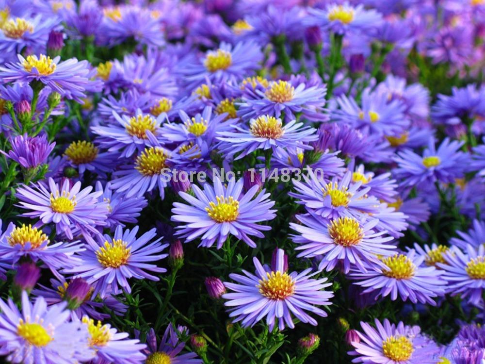 Asters Flowers Purple Purple Flower High Ger