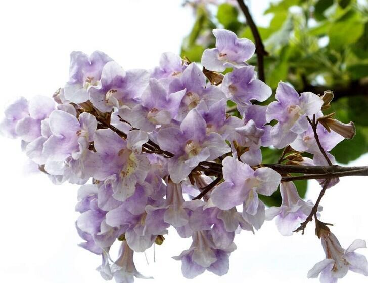 Worlds fastest growing tree princess tree big tree purple flowers for