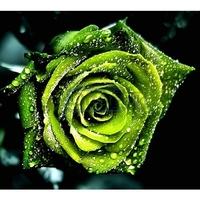 40 Pieces Green Petal Plants Rose Seeds Home Garden Flowers Bonsai Drop free shipping