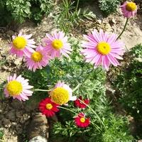 50 Pieces Avoid mosquito daisy seeds Red Petal Plants Chrysanthemum cin-eraiae seeds Home Garden Flowers Bonsai