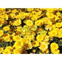 50 Pieces Sun Ju seeds Plants Home Garden Flowers Bonsai Free Shipping
