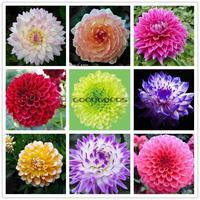 80seeds/bag Flower pots planters Many color of dahlia seeds rainbow pompon Seeds Bonsai plants Seeds for home & garden