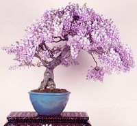 Pretty Bonsai Little Plant, Mini Potted Pink Cherry Tree Seeds 30 Piece