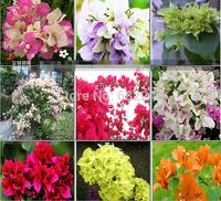 New Home Garden Bonsai Vine Plant Mix 100 Seeds BOUGAINVILLEA SPECTABILIS WILLD Climbing Flower Seeds Free Shipping