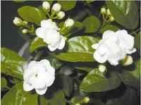 1 pack   white jasmine Seeds, fragrant plant arabian jasmine seeds free shipping