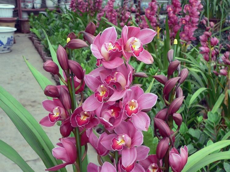 Cymbidium Orchids Retail Quot Orchid Quot Cymbidium Seeds