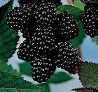 100 SEEDS - 100% Organic Sweet Garden Giant Black Berry Seeds * Free Shipping