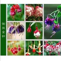 fuchsia ,Bonsai flowers lantern flower seeds - 30 seeds/pack  flower pots planters