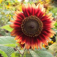 1 Original Pack, 20 seeds / pack, Evening Sun Sunflower Seeds #A244