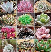 500 SEEDS - 100% Genuine Mix-Color Echeveria Seeds Bonsai Succulent Flower Plant Seeds * Free Shipping