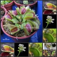 1000 SEEDS - 100% Genuine Dionaea muscipula Venus Flytrap Seeds * Free Shipping