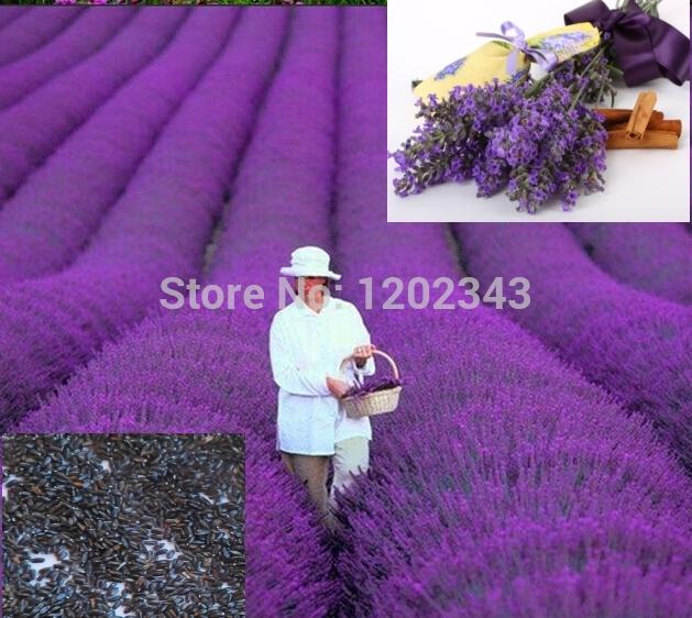 Free Shipping 50pcs 100% Genuine Fresh Lavender Seeds Purple flower plant seeds(China (Mainland))