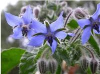 1Bag Borage Seed 30 Flower Seeds Blue Elegant Lovely Bud Popular HOT