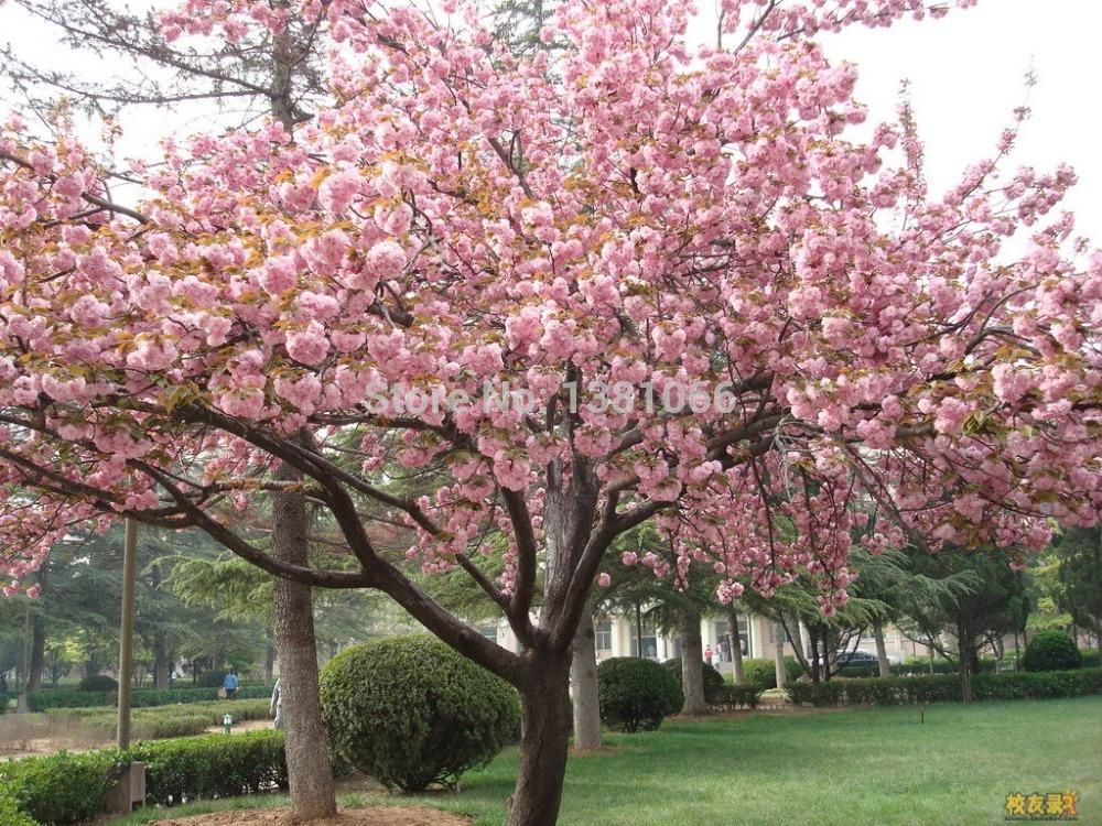 china landscape cherry trees - photo #41