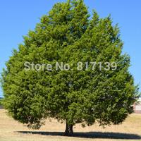 New Home Garden Plant 60 Seeds Eastern Red cedar, Juniperus virginiana, Tree Seeds Free Shipping
