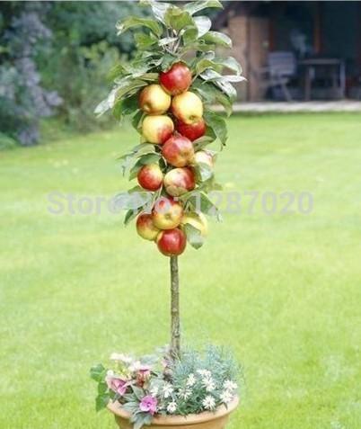 Tree Seeds Gala Apple Tree