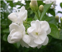 1 pack about 50 pieces white jasmine Seeds, fragrant plant arabian jasmine seeds free shipping