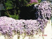 clematis hybridas - 200 seeds