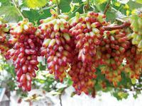 Senior Courtyard Plants , Delicious Fruit , Gold Finger Grape Seeds ,  80 Seeds,