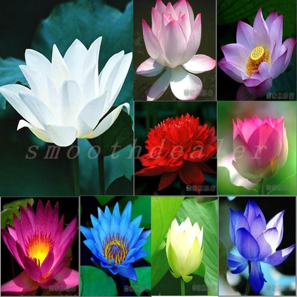 High Quality 100% Original 40PCS 9 mix Lotus Flower Aquarium Plant Seeds Aquarium Seeds Lotus Plant Lotus Seeds Free Shipping(China (Mainland))