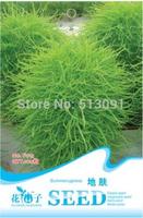 5Packs 500 Seeds Kochia scoparia seeds  Broomsedge,Belvedere Chenopodiaceae seeds