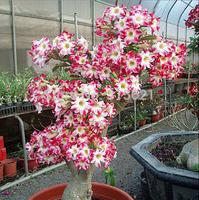 Real Adenium obesum Seeds Taiwan Desert Rose Seed Rose seeds 5pcs Free Shipping