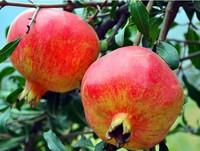 30pcs Giant Pomegranate seeds Punica Granatum Shrub Fruit Tree